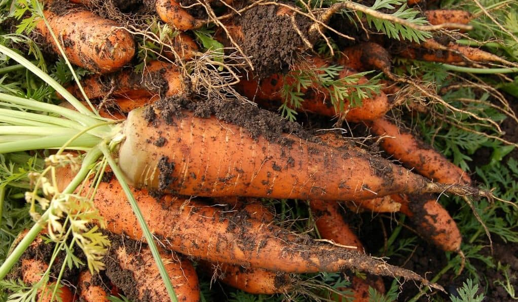 winter-greenhouse-plants-6-carrots