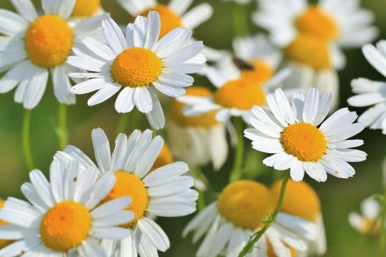 medicinal-plants-uk-2-Chamomile