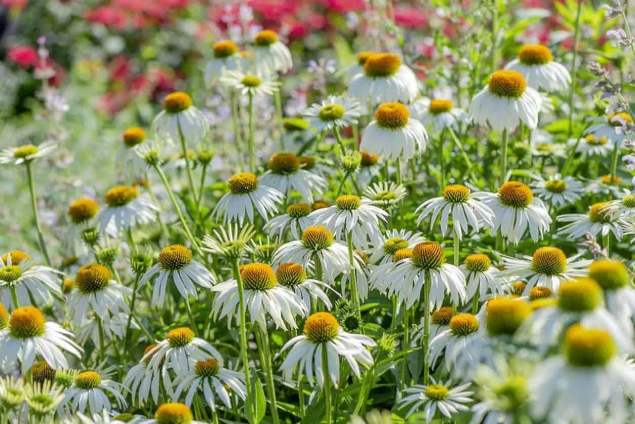 medicinal-plants-uk-4-echinacea