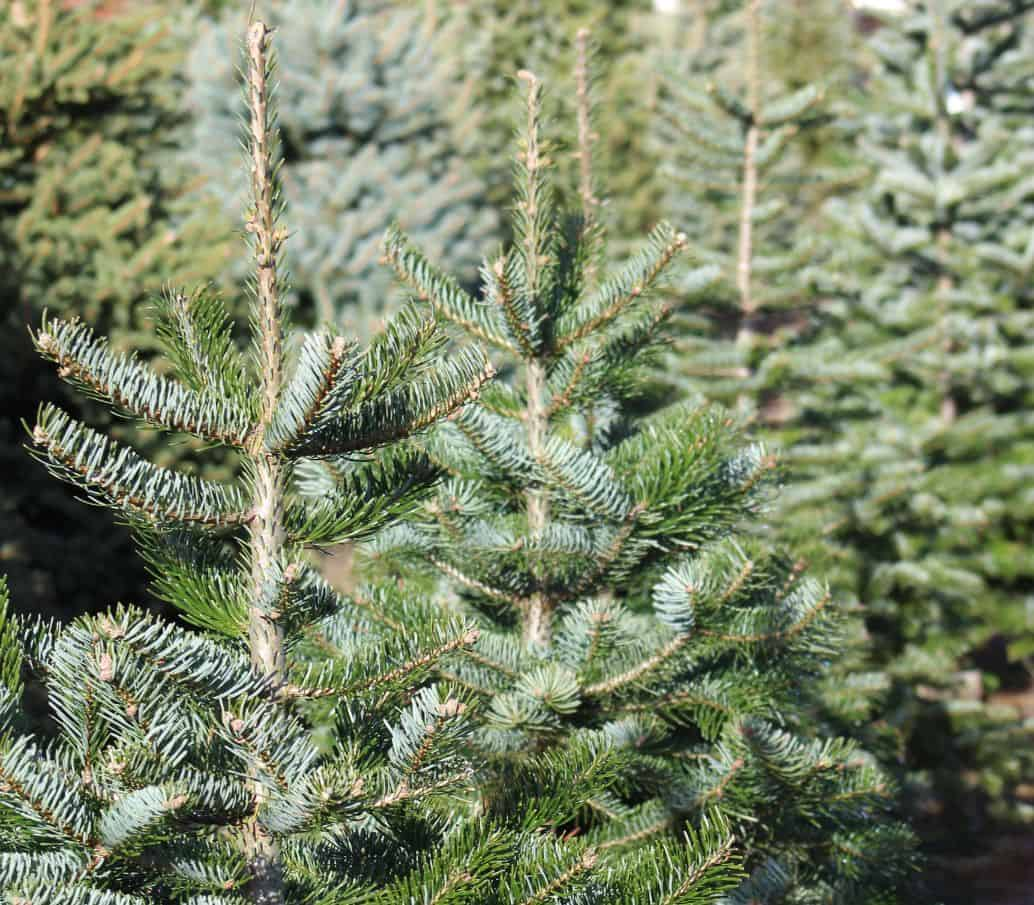 tips-buying-a-Christmas-tree-2-purchase-your-Christmas-tree-at-the-right-time