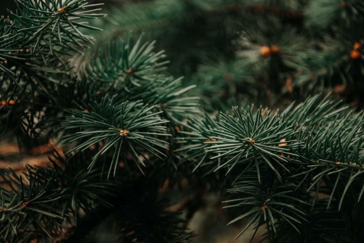 tips-buying-a-Christmas-tree-4-cut-afresh
