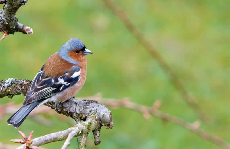 top-tips-recognising-uk-birds-songs-1-chaffinch