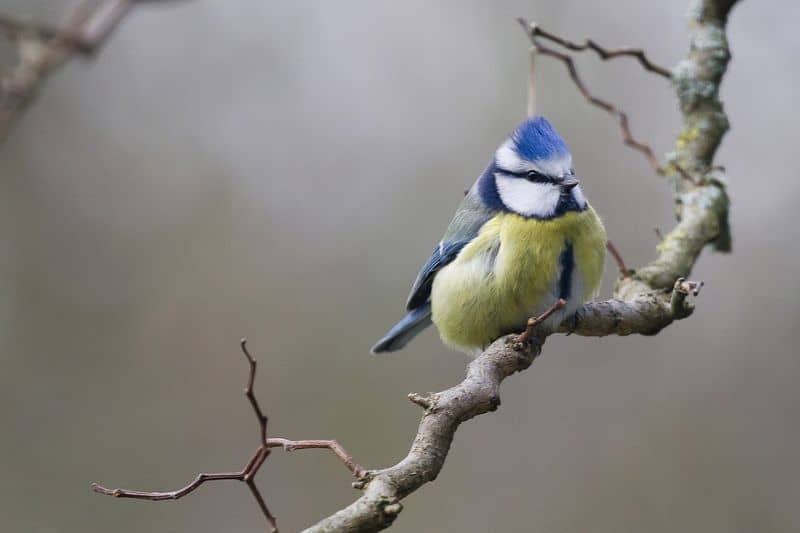 top-tips-recognising-uk-birds-songs-10-blue-tit