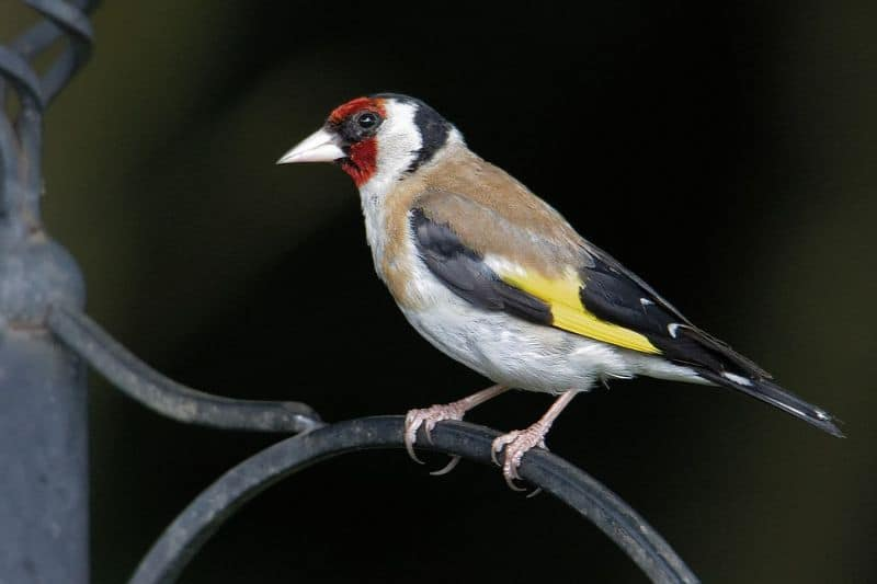 top-tips-recognising-uk-birds-songs-11-goldfinch