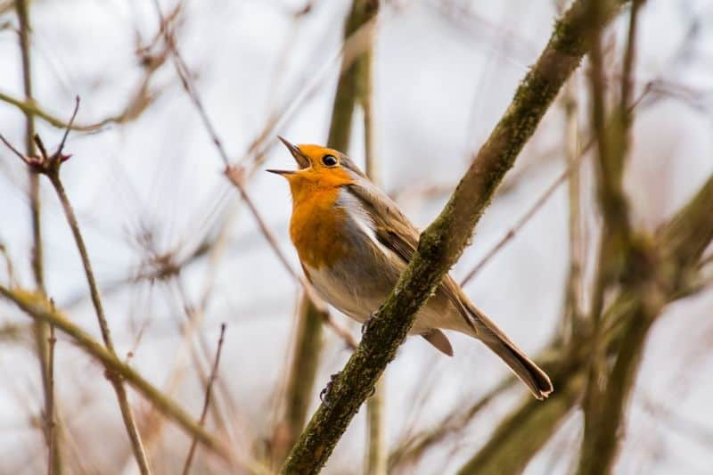 top-tips-recognising-uk-birds-songs-2-robin