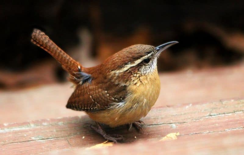 top-tips-recognising-uk-birds-songs-3-wren