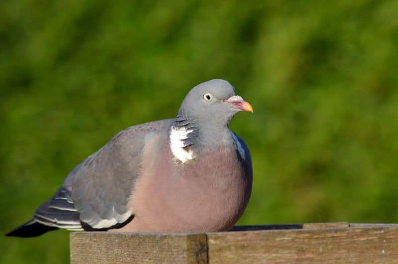 top-tips-recognising-uk-birds-songs-4-wood-pigeon