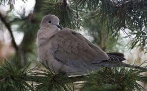 top-tips-recognising-uk-birds-songs-5-collared-dove