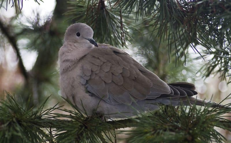 top-tips-recognising-uk-birds-songs-5-collared-dove