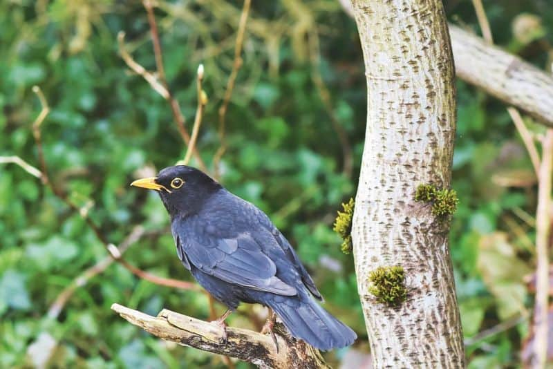top-tips-recognising-uk-birds-songs-6-blackbird