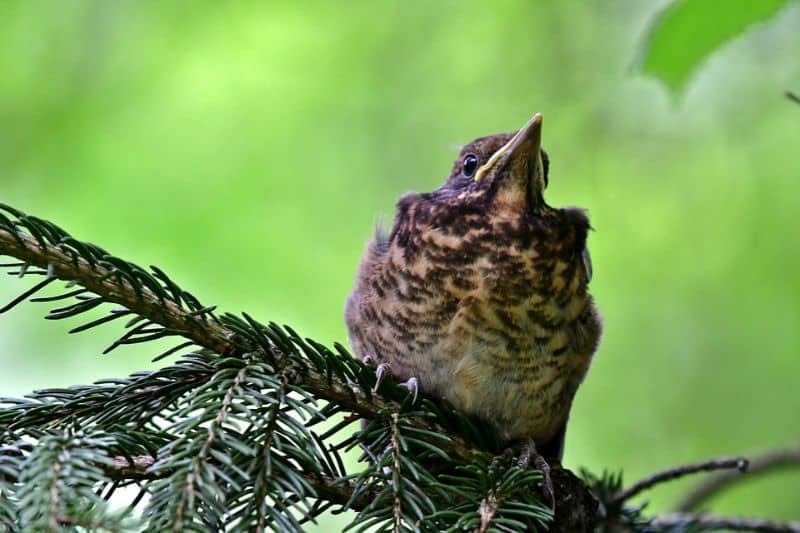top-tips-recognising-uk-birds-songs-7-song-thrush