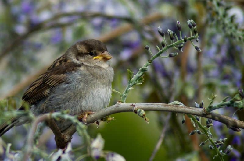 top-tips-recognising-uk-birds-songs-9-house-sparrow