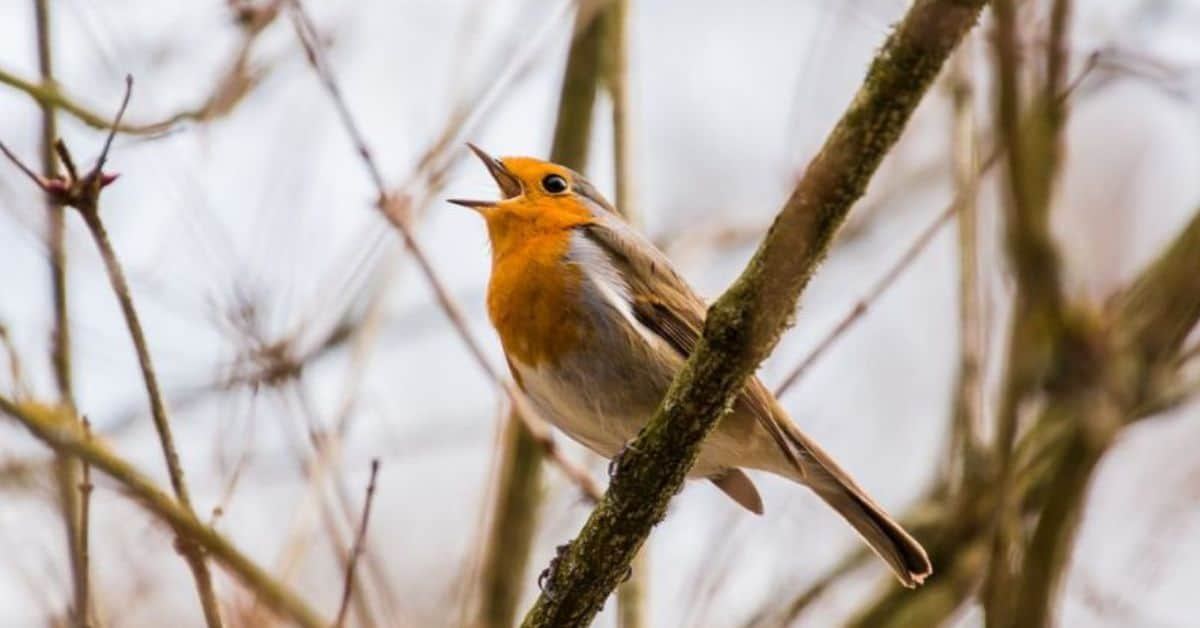 top-tips-recognising-uk-birds-songs