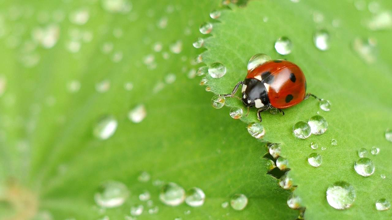 beneficial-insects-garden-1-ladybugs-pixabay