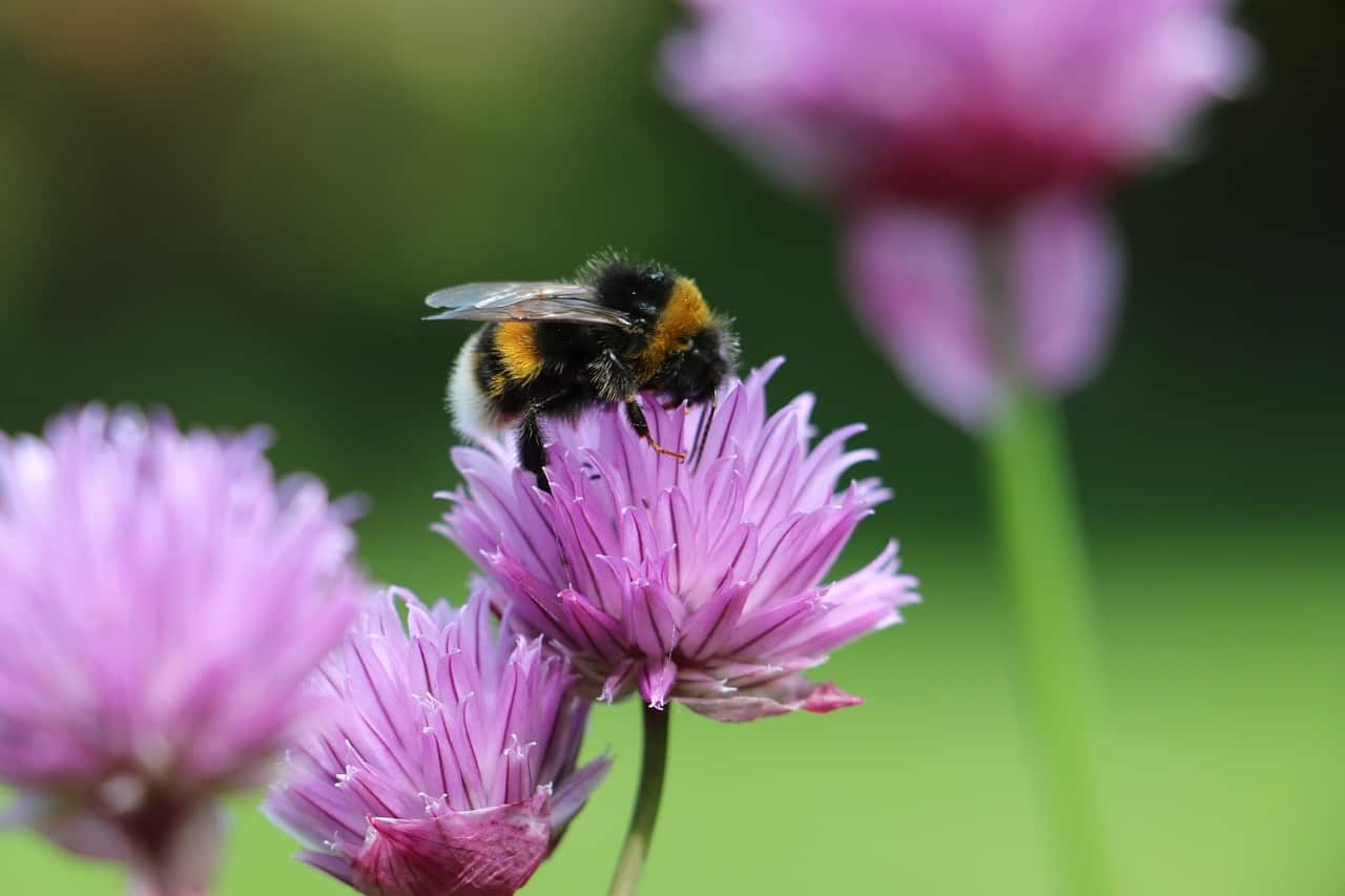 beneficial-insects-garden-2-bumblebees-pixabay