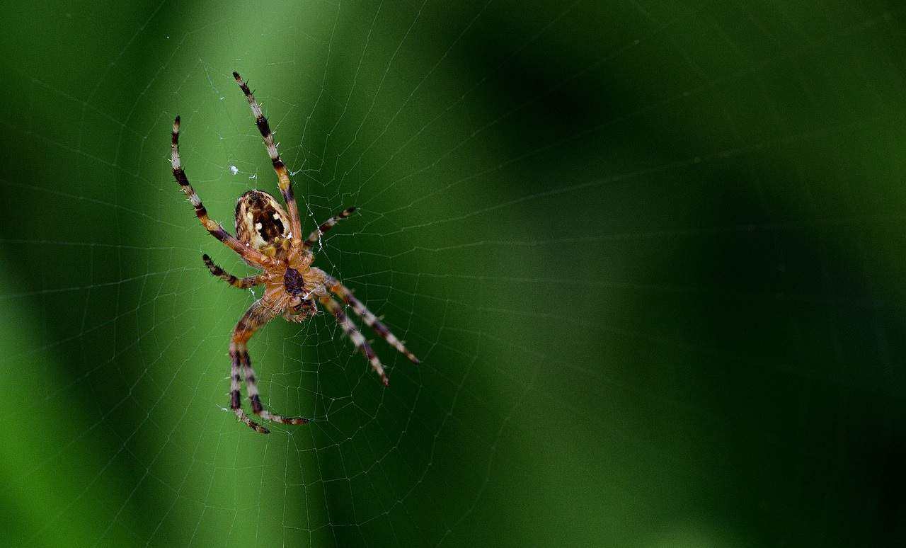 beneficial-insects-garden-3-spiders-pixabay