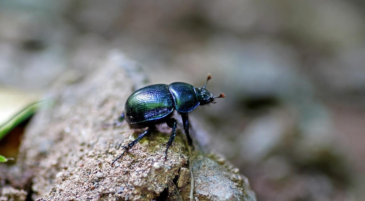 beneficial-insects-garden-4-ground-beetles-pixabay