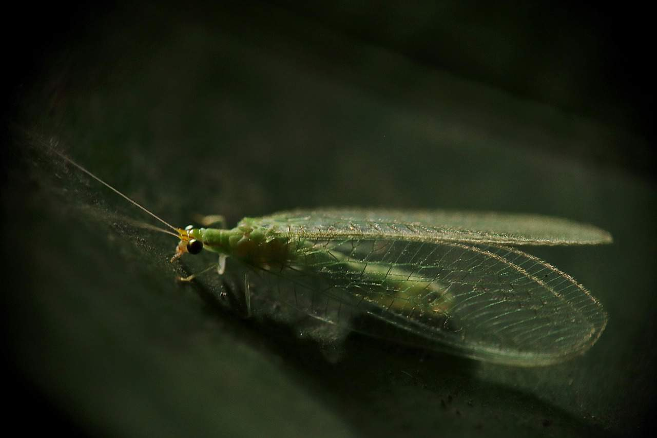 beneficial-insects-garden-6-green-lacewings-pixabay