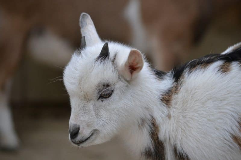 five-animals-you-can-keep-in-your-garden-4-mini-goats-pixabay