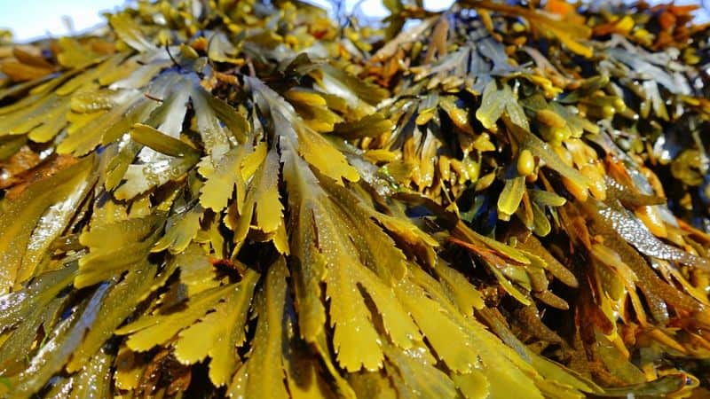 six-of-the-best-organic-fertilisers-5-seaweed-pixabay