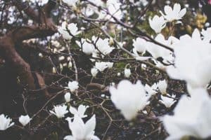 trees-that-can-damage-your-property-2-souther-magnolia-unsplash