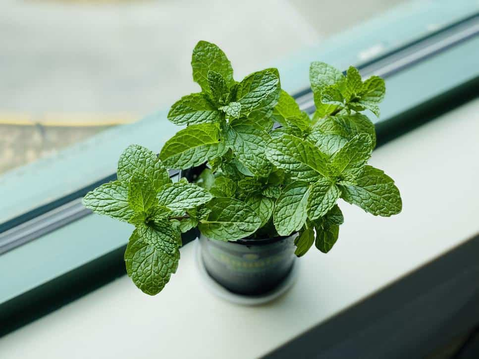 A potted mint leaf plant