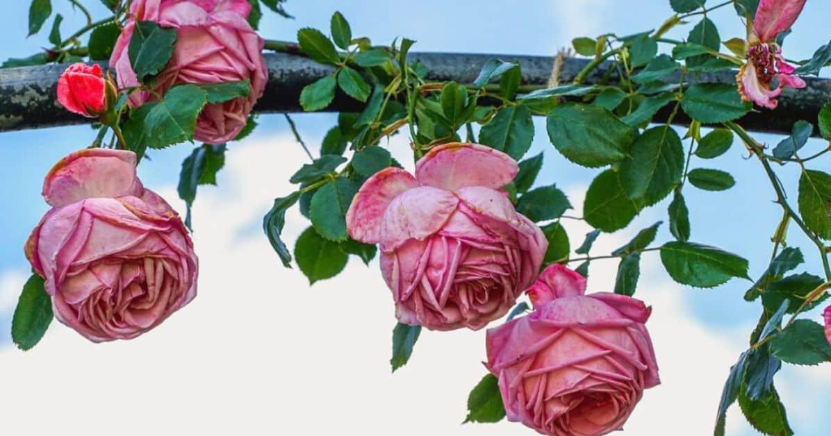 best-garden-climbers-featured-image-pixabay