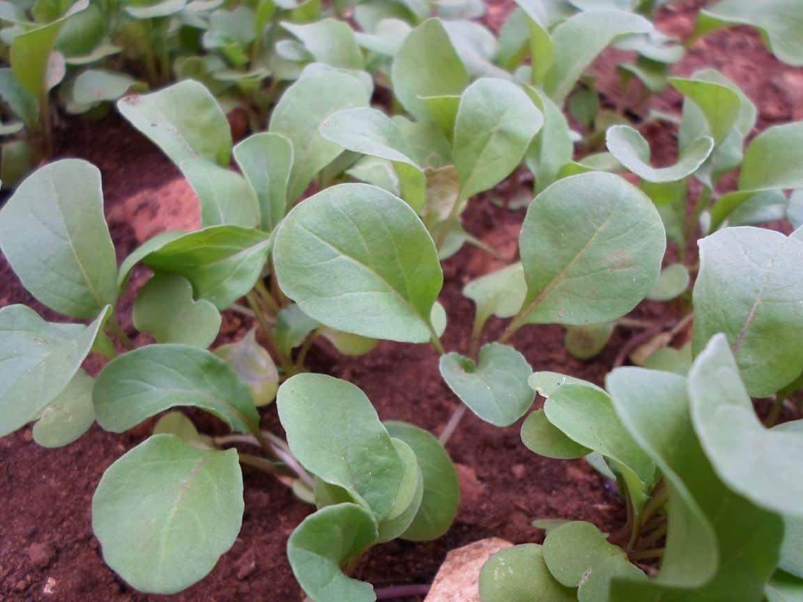 fast-growing-vegetables-3-arugula-pixabay