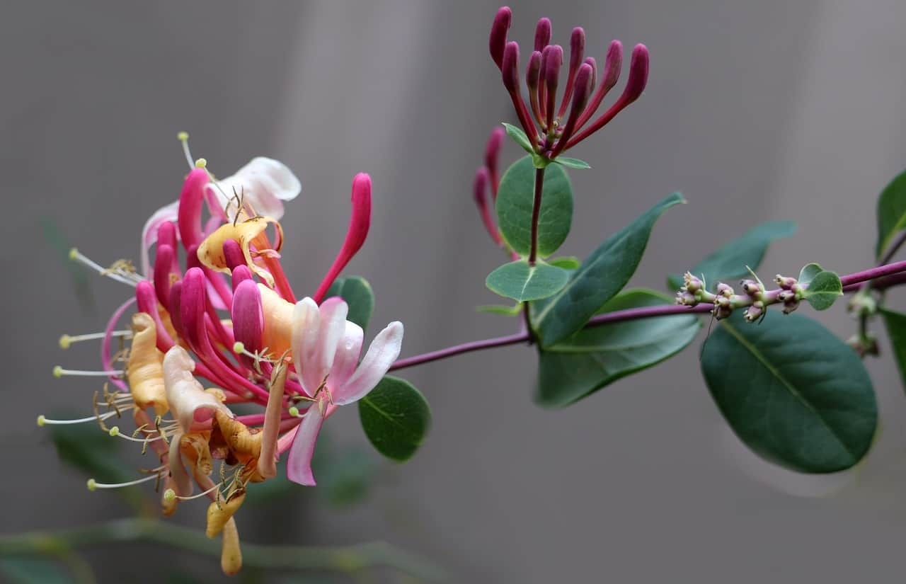 garden-climber-4-honeysuckle-pixabay