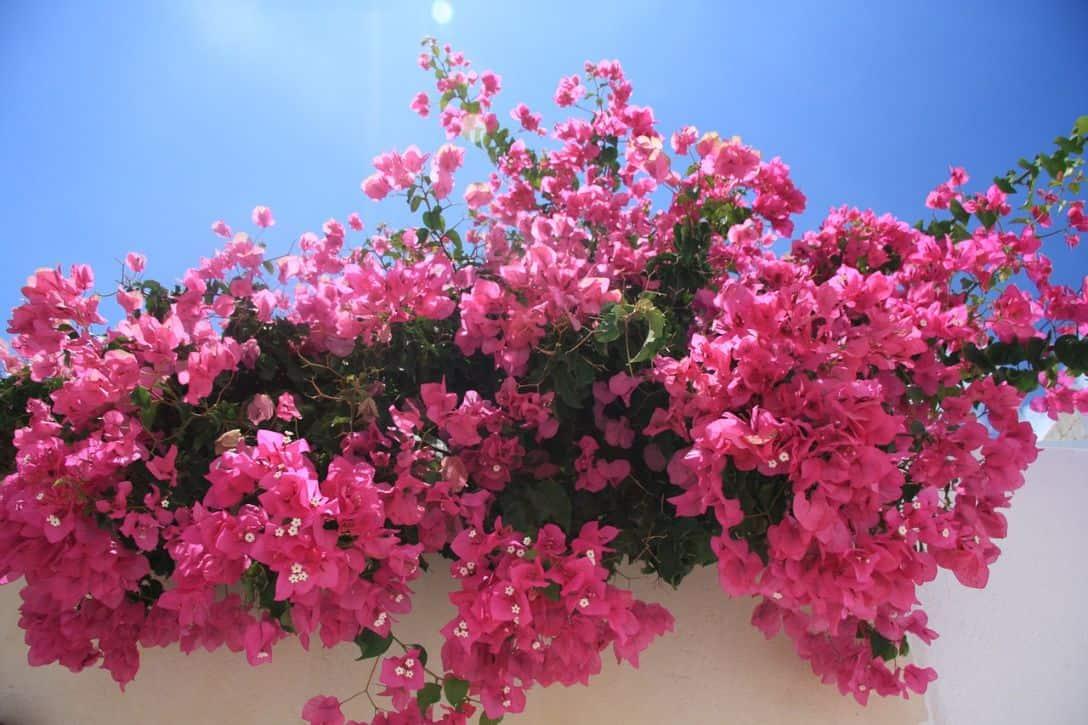 garden-climber-7-bougainvillaea-pixabay