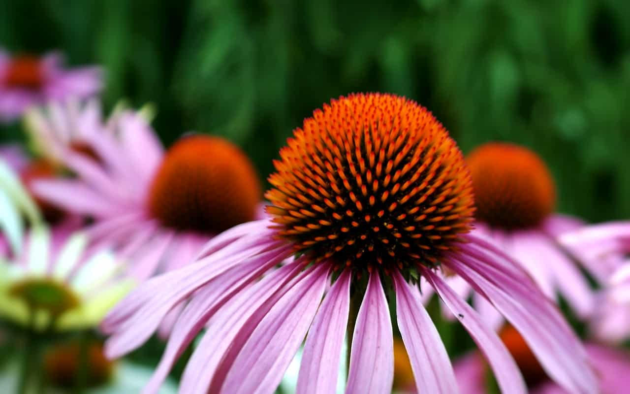 herbs-for-allergies-relief-3-echinacea-pixabay
