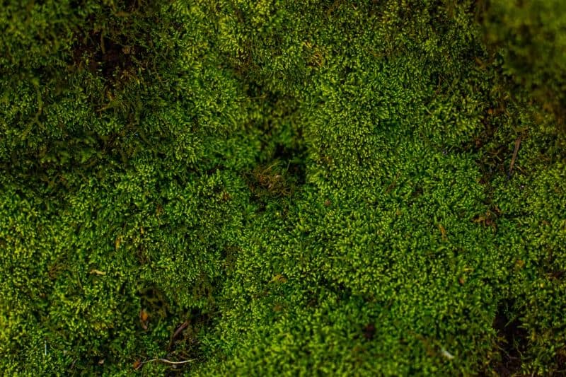 Mosses grow in moist area and mainly in a wet environment.