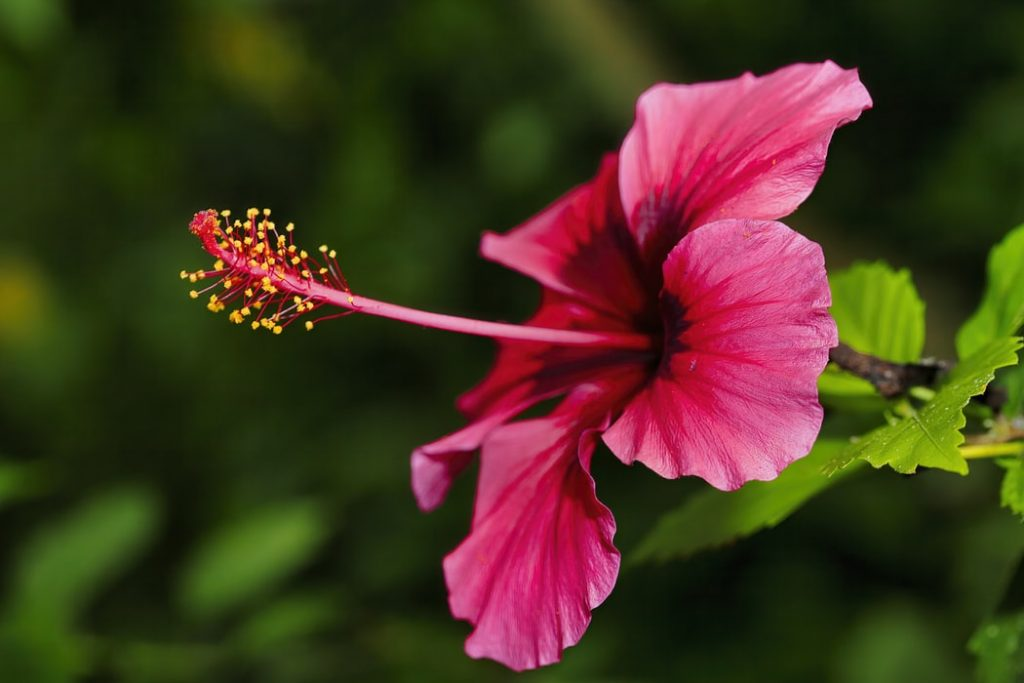 A single hibiscus plant