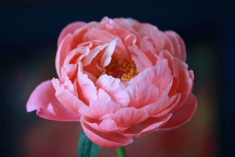 low-maintenance-plants-for-hassle-free-garden-2-peonies-unsplash.jfif