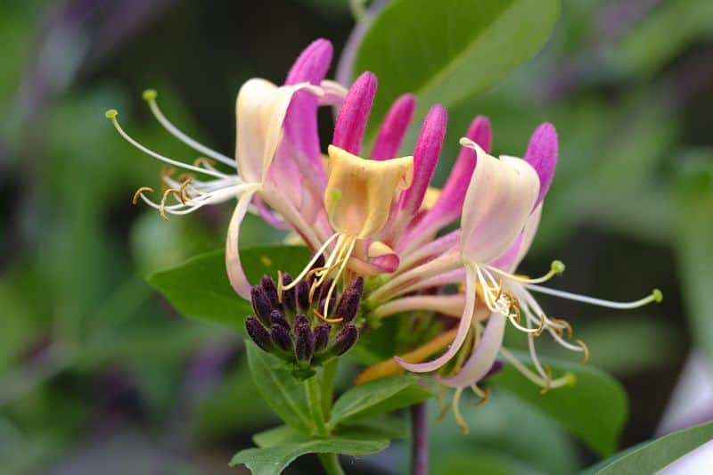 low-maintenance-plants-for-hassle-free-garden-4-honeysuckle-pixabay