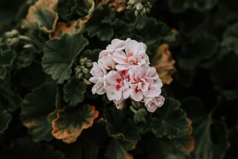 low-maintenance-plants-for-hassle-free-garden-5-geraniums-unplash.jfif