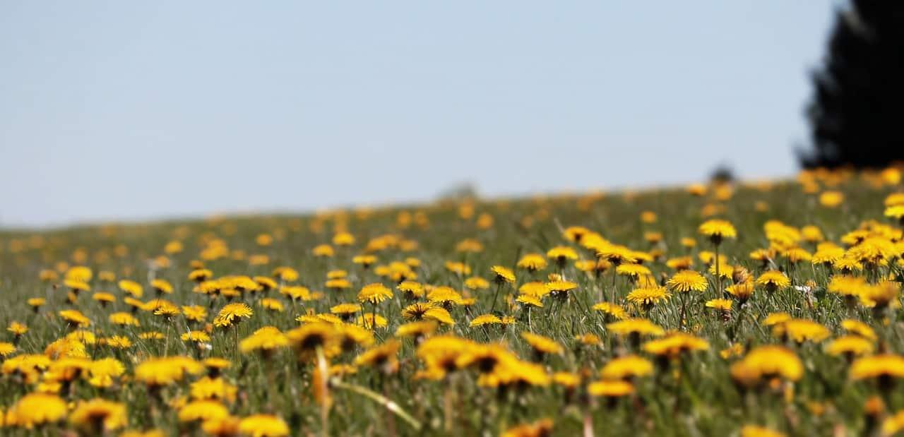 natural-remedies-garden-2-dandelions-pixabay