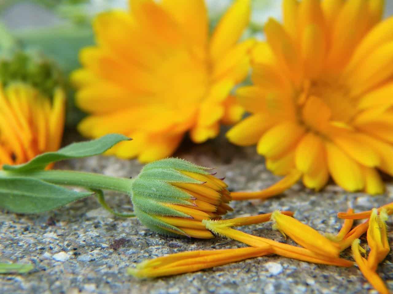 natural-remedies-garden-5-calendula-pixabay