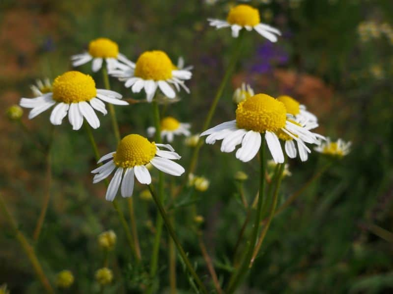 plants-and-herbs-you-can-grow-in-your-tea-garden-2-chamomile-unsplash