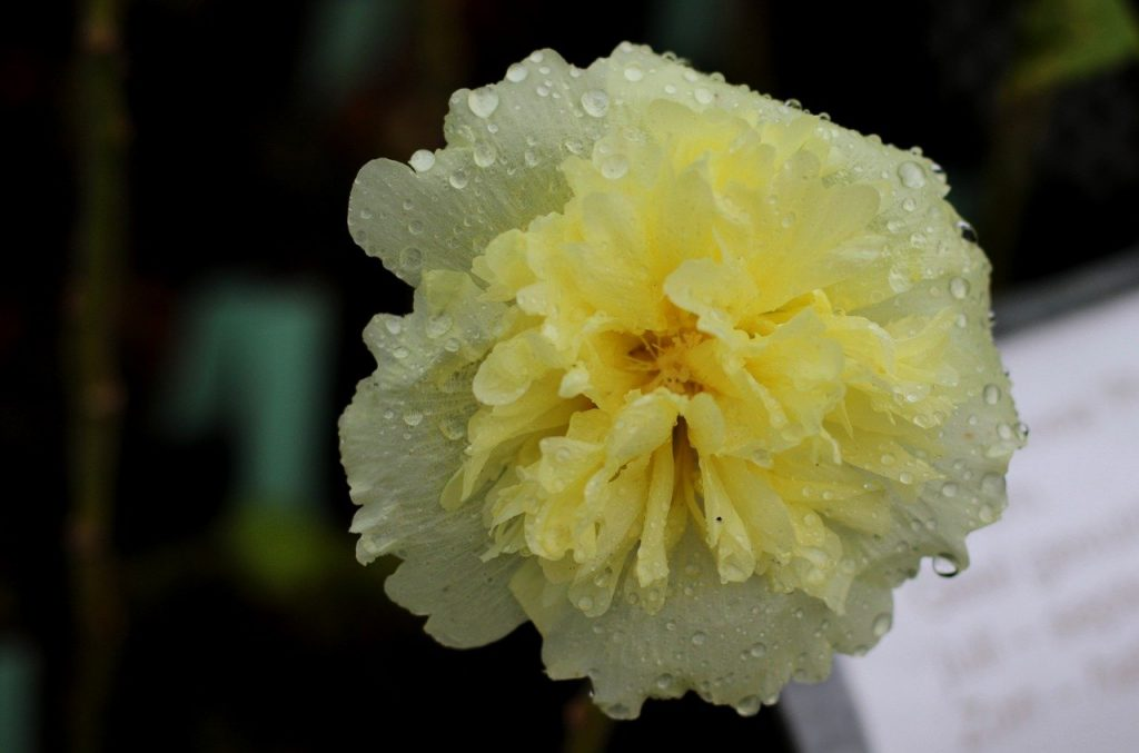 water covered white double flowered hollyhock plant