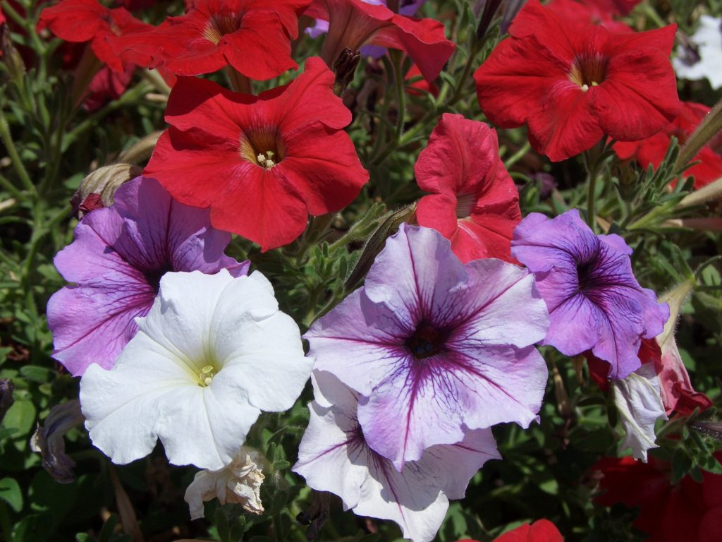 Red, white and pink petunias