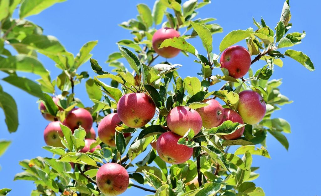 Red apples on a tree branch