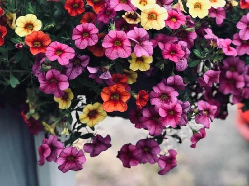 best-plants-for-anti-allergy-garden-3-petunias-unsplash
