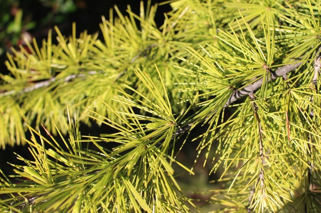 Needle foliage on a conifer tree branch