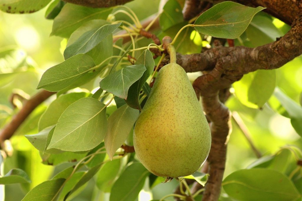 A single pear on a branch of a pear tree