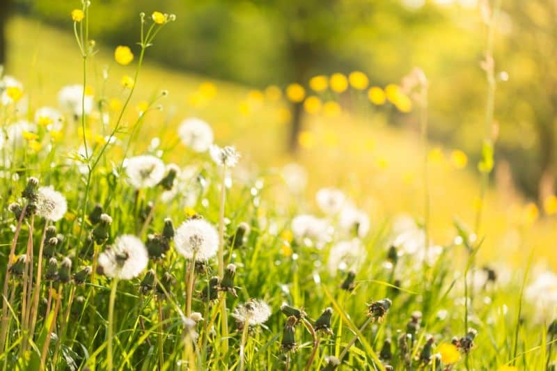 Watch out for dandelions lurking in your garden!