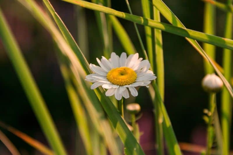 Watch out for daisies lurking in your garden!