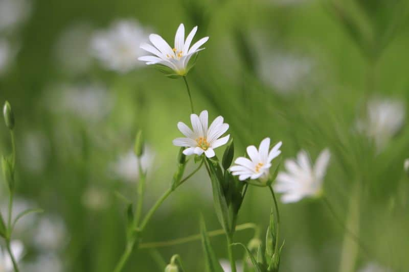 Watch out for chickweeds lurking in your garden!