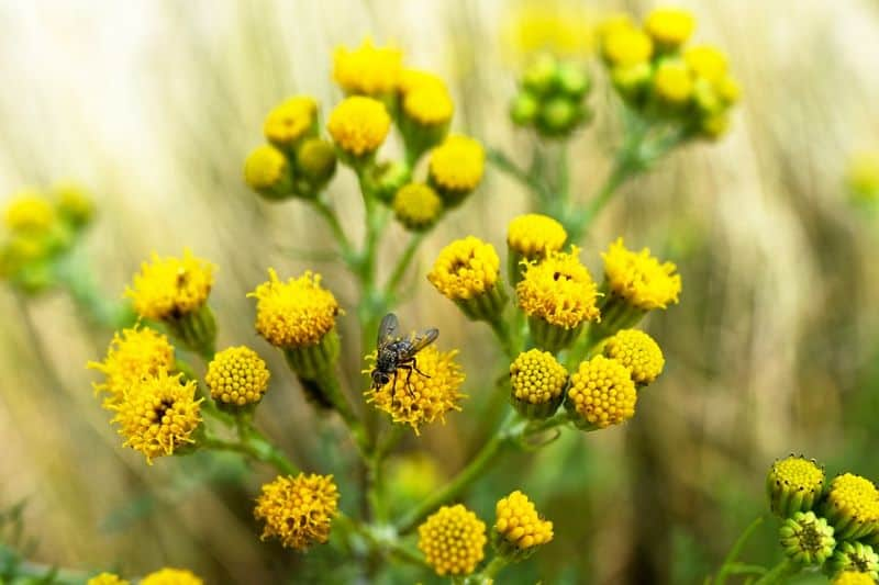 Watch out for groundsels lurking in your garden!
