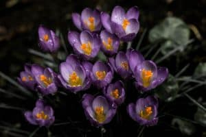 cold-greenhouse-growing-autumn-4-spring-bulbs
